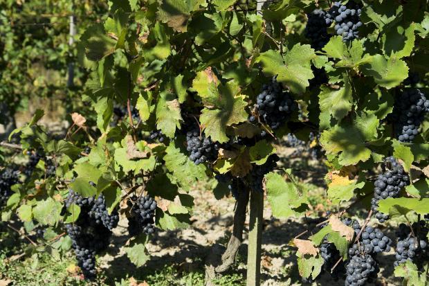 Italia adelanta a Francia como mayor productor de vino del mundo 3