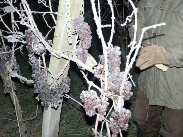 Eiswein, Icewine o vino de hielo 1
