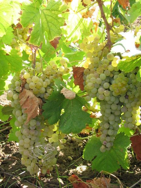 Vinos atlánticos o vinos mediterráneos, características y diferencias 1