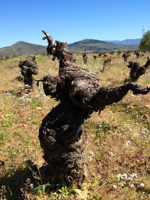 Un paseo por el Bierzo: bodega Aurelio Feo Viticultor 3