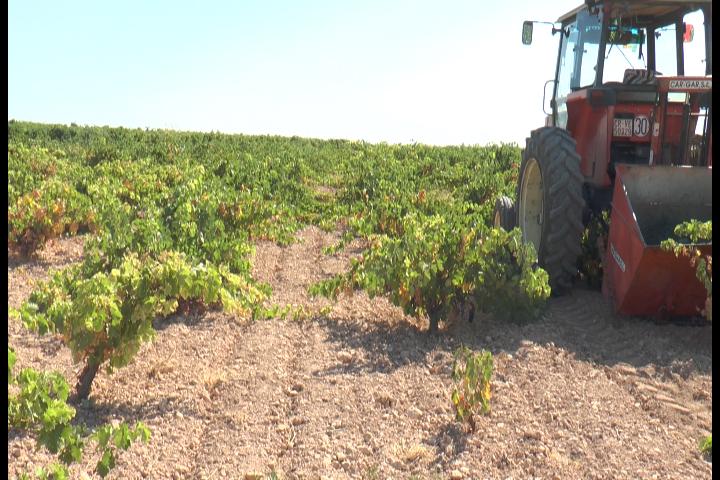 La buena calidad de la uva marca el inicio de la vendimia en DO La Mancha 3