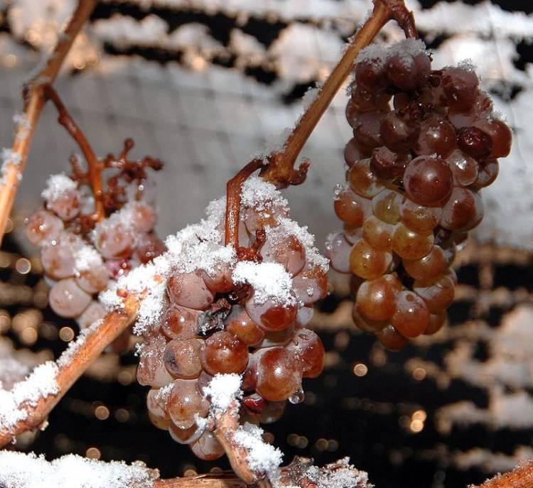 Es la época del Eiswein, Ice Wine o Vino del Hielo, ¿dónde se produce? 1
