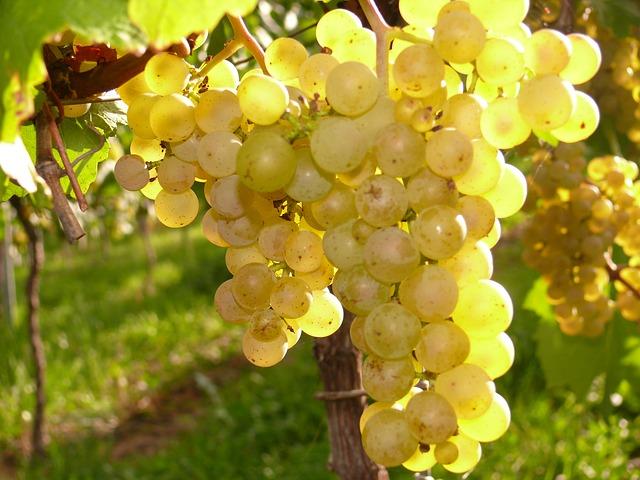 10 Varietales blancas menospreciadas a la hora de hacer vinos 1