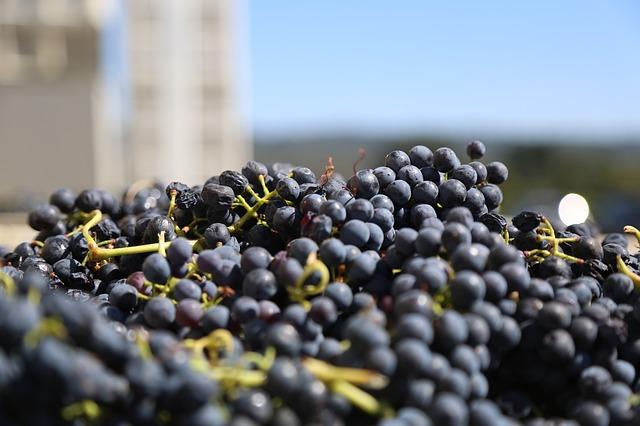 Efectos positivos del resveratrol de las uvas en los enfermos de Alzheimer 1
