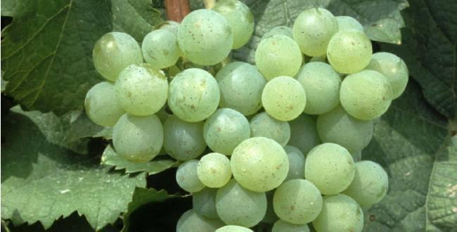 La región de la Champagne recupera 4 variedades de uvas perdidas tras la IWW gracias al cambio climático 1