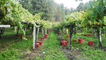 22 millones de litros se estima que se harán de vino en la D.O. Rías Baixas 2