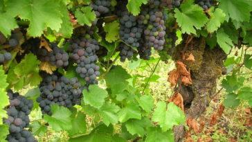 Hablando de vinos y uvas: 'La Mencía' (1) 3