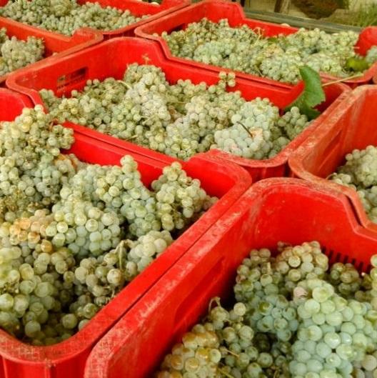 Hablando de vinos y uvas: 'La Albariño' (2) 3