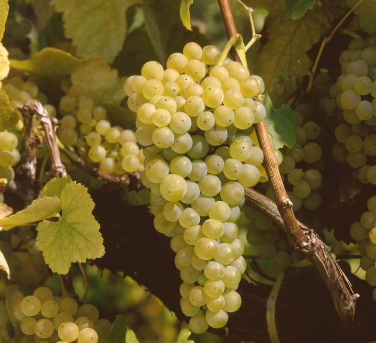 Hablando de vinos y uvas: 'La Loureiro' (4) 1