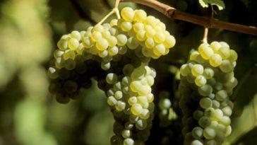 Hablando de vinos y uvas: 'La Airén' (11) 1