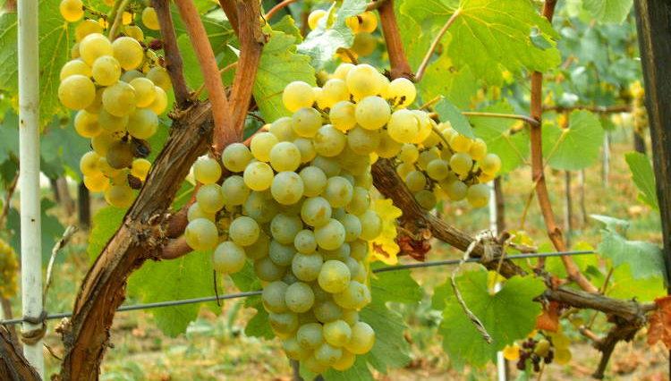 Hablando de vinos y uvas: 'La Chardonnay' (8) 1