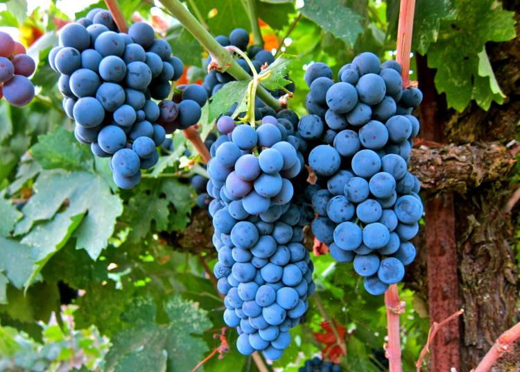 Hablando de vinos y uvas: 'La Merlot' (10) 1