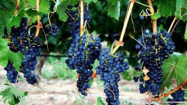 Hablando de vinos y uvas: 'La Syrah' (7) 1