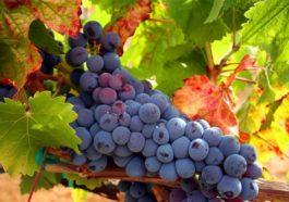 Hablando de vinos y uvas: 'La Tempranillo' (5) 1