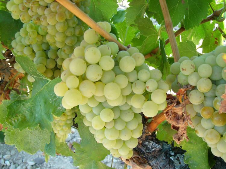 Hablando de vinos y uvas: 'La Verdejo' (6) 1