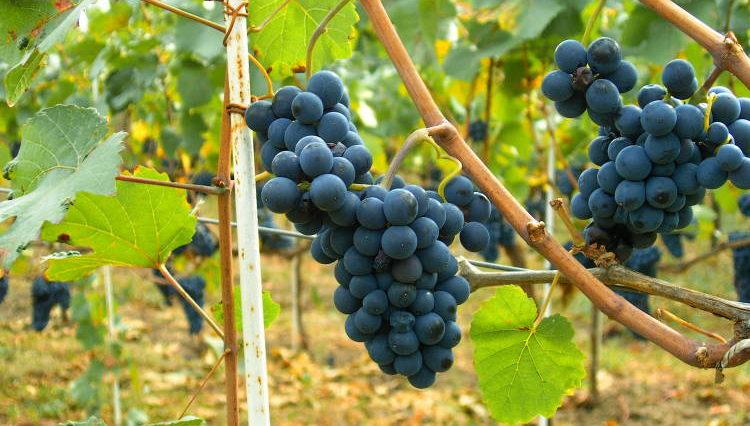 The Global Pinot Noir Masters 2016 será la mayor cata a ciegas hasta la fecha de este vino en el mundo 1