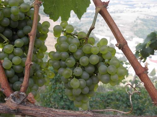 Hablando de vinos y uvas: 'La Albairín Blanco' (13) 1