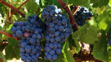 Hablando de vinos y uvas: 'La Bobal' (19) 1
