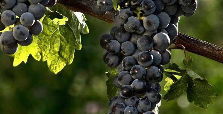 Hablando de vinos y uvas: 'La Cabernet Sauvignon' (12) 1