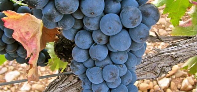Hablando de vinos y uvas: 'La Garnacha' (17) 1