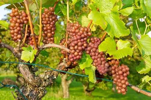 Hablando de vinos y uvas: 'La Gewürztraminer' (14) 1