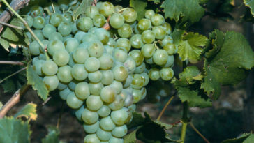 Hablando de vinos y uvas: 'La Moscatel' (15) 1