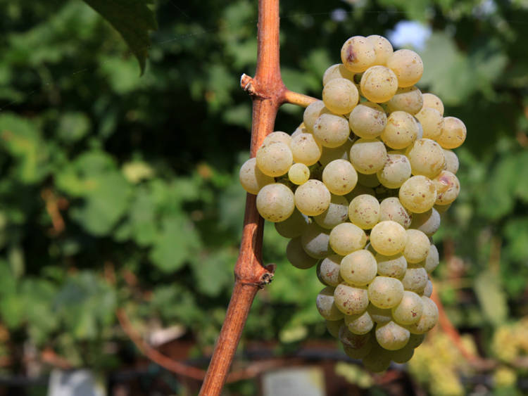 Hablando de vinos y uvas: 'La Riesling' (18) 1