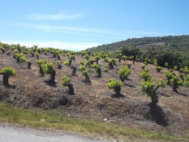Efectos del cambio climático en los vinos españoles en el futuro próximo 1