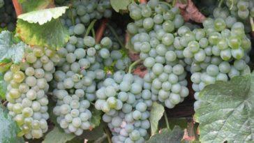 Hablando de vinos y uvas: 'La Godello' (24) 5