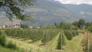 El fallecimiento de una mujer clasificadora de uvas pone a la luz las condiciones de esclavitud en el viñedo italiano 1