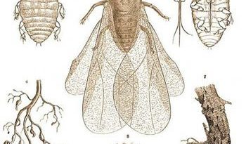Detectado un aumento en la zona afectada de filoxera en Australia 1