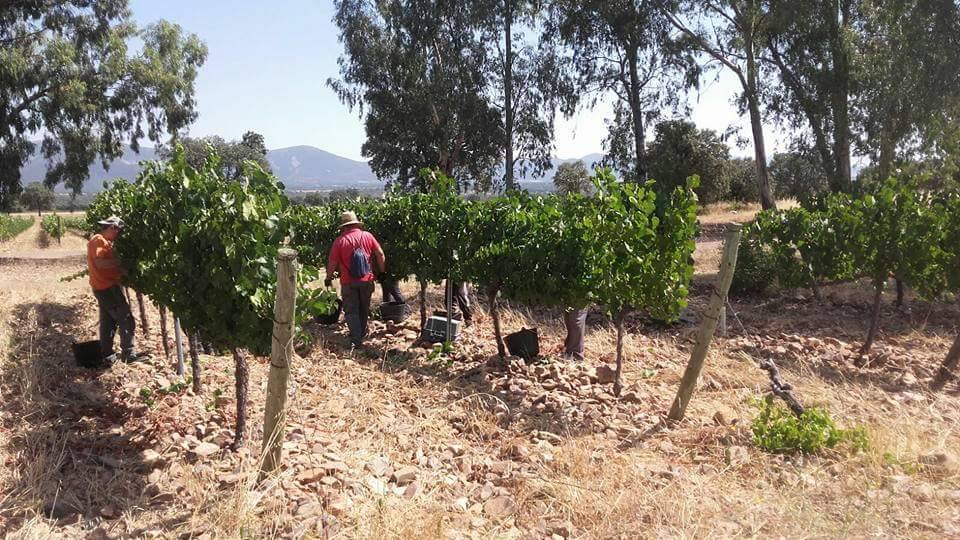 Varias zonas ya han terminado la vendimia de las varietales blancas
