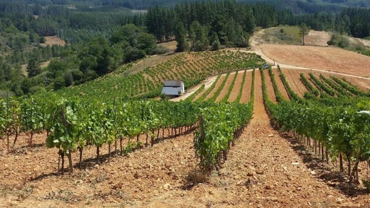 El Bierzo también reduce la cifra de uva recogida en esta vendimia