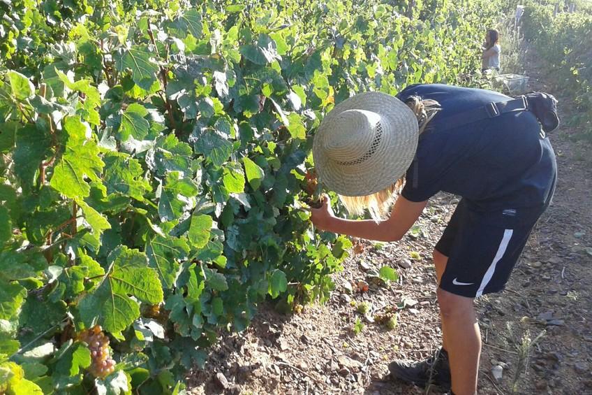 La DO Empordà inicia la vendimia con una uva excelente 1