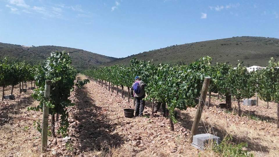 Varias zonas ya han terminado la vendimia de las varietales blancas 1