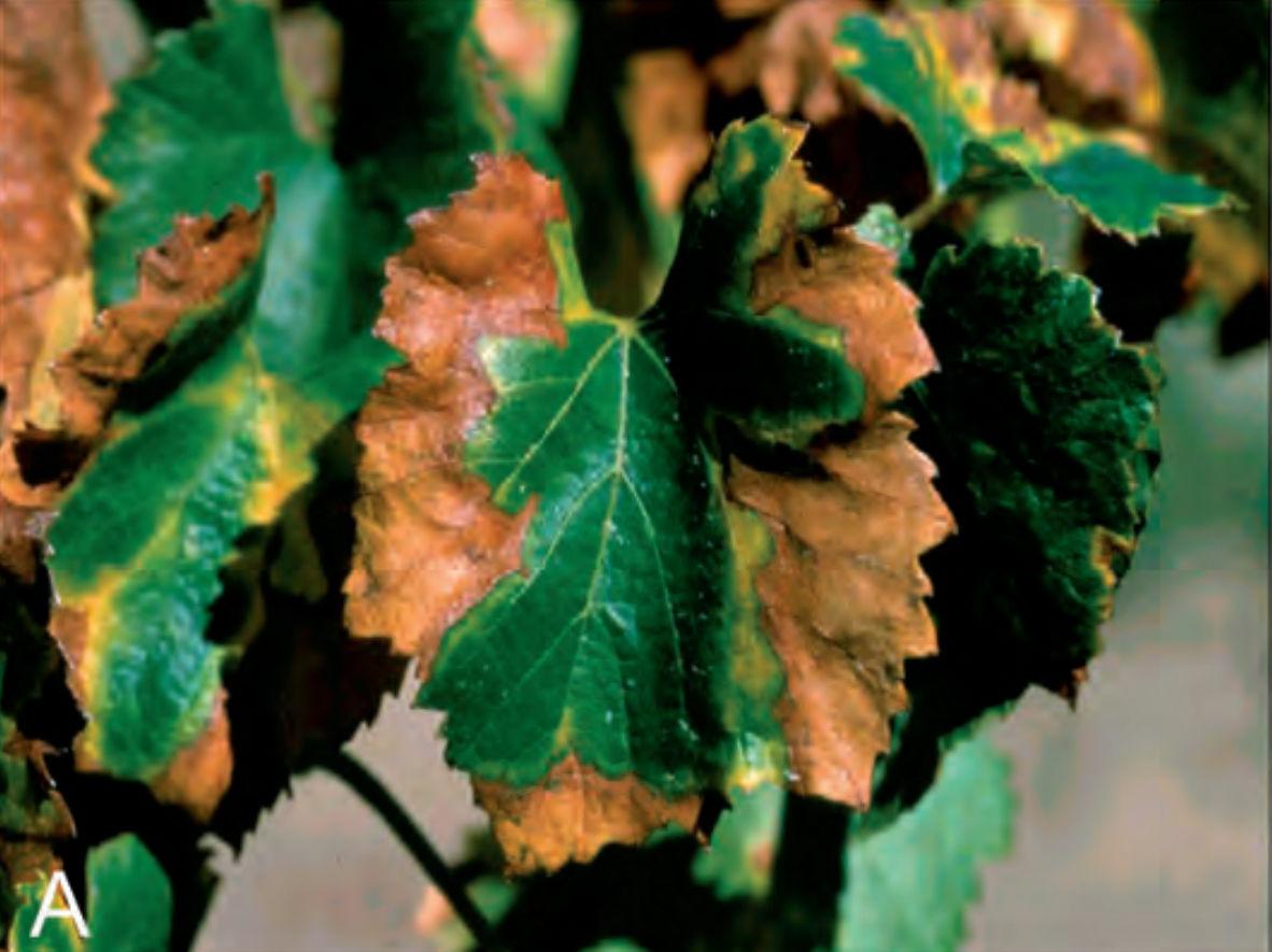 Baleares confirma la presencia de Xylella fastidiosa en 13 uvas de vino en Mallorca 1