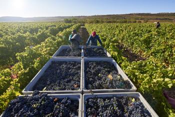 El Grupo La Rioja Alta, S.A. finaliza una vendimia precoz, muy corta y de magnífica calidad