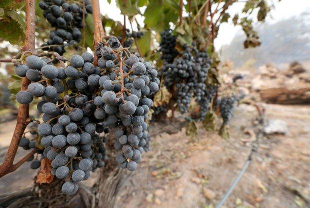 Los enólogos de Napa, California, necesitan tener acceso a las uvas salvadas