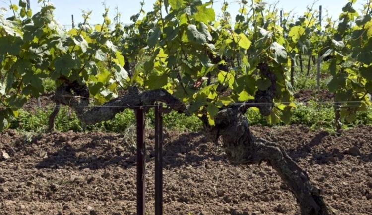 El viñedo más antiguo del mundo que produce uvas está en Alemania 1