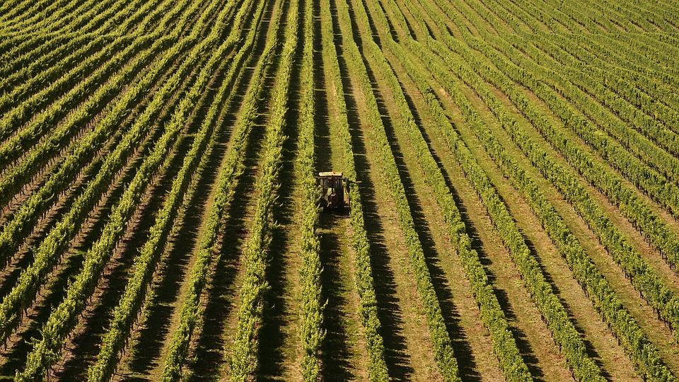 La falta de mano de obra en el sector vinícola en Nueva Zelanda amenaza crisis 1