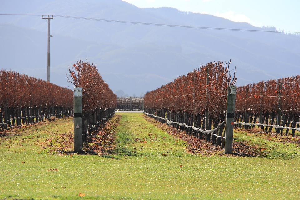 Los productores de uva de Marlborough esperan una cosecha temprana gracias a la magnífica primavera 1